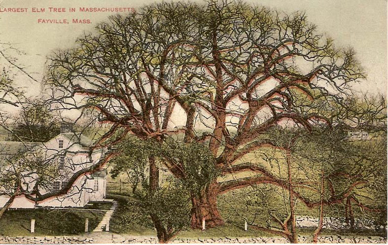 This undated postcard, probably from the turn of the century before, shows the largest elm tree in Massachusetts. The exact location is unknown. Many of these giants were destroyed in the hurricane of 1938. The rest succumbed to Dutch Elm disease in the 60 and 70s.